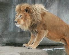 Lion 2 (Emily K P) Tags: milwaukeecountyzoo zoo animal wildlife bigcat cat feline male lion tan yellow grey gray rock climb climbing