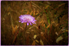 Field Scabious (Julie (thanks for 8 million views)) Tags: 100flowers2018 fieldscabious wildflower wexford flora beautifulnature canoneos100d summer bokeh ireland irish knautiaarvensis grange