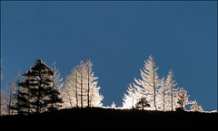Christmas eve, 2018 (McRusty) Tags: christmas eve low sun larch scots pine trees backlit back lit light dell estate stratherrick highland scotland sunshine beautiful natural outdoor
