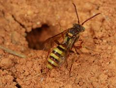 Cuckoo bee at Andrena burrow (cotinis) Tags: insect hymenoptera bee apidae nomadinae nomada nomadaimbricata cuckoobee northcarolina piedmont canonef100mmf28macrousm explore