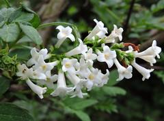 2018-04-30 Syringa pinnatifolia - BG Teplice (beranekp) Tags: czech teplice teplitz botanik botany botanic herbarium herbary herbář garden garten flora flower plant syringa