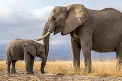 _A130183 (BergsPix) Tags: elephants africa kenya safari amboseli masaai mara samburu tusks mammals