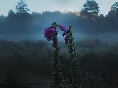 19.1 F sm (Dvd2u) Tags: dvd2u loongana mountainview foxglove