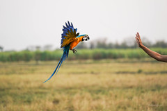 landing 5 (Aung@) Tags: macaw parrot flying landing hand continuos sony alpha a9 fe 70200 f4 lens thailand aungkw