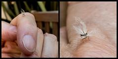 bad hair day (glasnevinz) Tags: newzealand wairarapa martinborough insect strange planthoppernymph