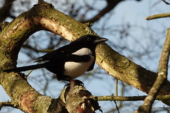 Magpie (hedgehoggarden1) Tags: magpie bird wildlife nature sonycybershot birds rspb norfolk eastanglia uk sony tree