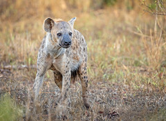 South African Scavenger... (DTT67) Tags: hyena southafrica 14xtciii 500mm 5dmkiv canon sabisabi scavenger mammal animal wildlife nature spotted