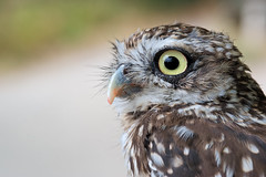 Steinkauz / Little owl (Athene noctua) (uwe125) Tags: animal eule portrait steinkauz owl little springe wisentgehege