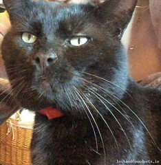 Mon, Jan 14th, 2019 Lost Male Cat - Old Downs Road, Delgany Grove Bar Area, Wicklow (Lost and Found Pets Ireland) Tags: lostcatolddownsroadwicklow lost cat old downs road wicklow january 2019