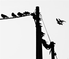 Crows On Telegraph Pole Roost - B&W (Gilli8888) Tags: cresswell cresswellponds northumberland northeast countryside nikon p900 coolpix sunset farm silhouette silhouettephotography telegraphpole birds blackandwhite trees crows roost birdsinflight