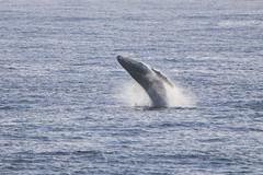 2019 Whale Watching (Kosen Ishikawa) Tags: breach humpback whale kauai poipu