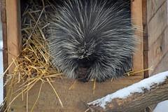 Praying for Warmer Weather (MTSOfan) Tags: porcupine pray praying prayer box hay winter snow epz