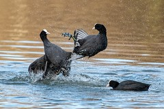 coot wars (Happy snappy nature) Tags: coots fighting battle nature wild wildlife outdoors shropshire nikond500 nikon200500