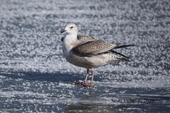 "Herring Gull Light First Cycle (Scott ""Burns"" Evans) Tags: scot evans avian bird photography monroe lake county indiana winter gull american herring january 2019"