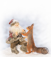 red squirrel holding a santa in the snow (Geert Weggen) Tags: humor squirrel holidayevent adult animal backlit bright care celebration closeup cute flower gift greeting greetingcard heartshape letterdocument looking loveemotion mammal nature partysocialevent photography red rodent smiling sun sweden wallpaperdecor christmastree snow winter present star reach icicle northpole wand magic santa christmas bispgården jämtland geert weggen hardeko ragunda