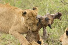 Lion Kill (gsphotography145) Tags: lionkill garrettsheets africa southafrica canon tamron withmytamron simunye lion giraffe kill safari chisomogamereserve overcast goldenhour gold fierce lioncub cub animal natureismetal