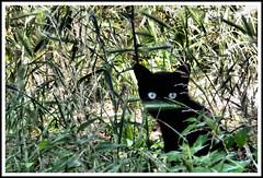 LA BELVA E' FUORI! (claudiobertolesi) Tags: milano viacalvino gatti cats blackcats 2011 claudiobertolesi straycats blueeyes erba grass greencolour