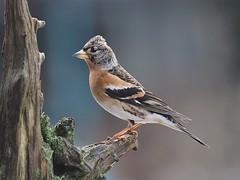 brambling (fringilla montifringilla) (alfred.reinartz) Tags: vogel bird bergfink fringillamontifringilla olympus omd em1 brambling
