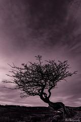DSC_1154-Edit-3 (alan.thecannon) Tags: distington tree whitehaven abstract beauty colourful colours landscape sunny sunset westcumbria