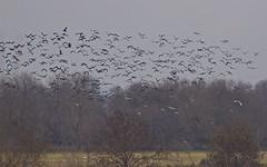 Ibis falcinelle, Mouette rieuse - IMG_5666 (6franc6) Tags: occitanie languedoc gard 30 petitecamargue janvier 2019 6franc6 vélo kalkoff vae
