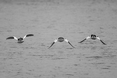 Flying Low Over The River (jimmy.stewart40) Tags: wildlife ducks commonmerganser flying river blackandwhite nature foggy morning outdoors