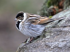 Reed Bunting (doranstacey) Tags: nature wildlife birds reedbunting reed bunting shillito wood woods woodland forest peak district tamron 150600mm nikon d5300