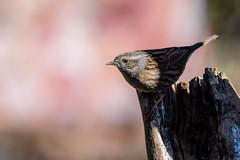 25022019-gDSC_9297 (Eyas Awad) Tags: passerascopaiola prunellamodularis eyasawad nikond800 nikond4 nikond500 sigma500f45 nikonafs300mmf4 tamron70200mmf28 nikkor200400mmf4 bird birds birdwatching wildlife nature