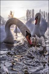 Swans (Dinko KAFOTKA Neskusil) Tags: swam karlovac hrvatska korana zima croatia labud labudovi rijeka winter swans canon zora