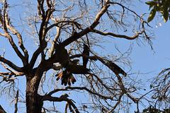 Forest Red-tailed Black Cockatoo (Calyptorhynchus banksii naso) (22Lavender22) Tags: elements nature d3400 nikon wildlife australia