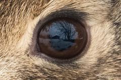 The eye has it! (Hilary Bralove) Tags: colorado wildlife mammals nature outdoors wild animals nikon