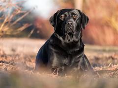 Evening glow (uwe.kast) Tags: labrador labradorretriever labradorredriver hund haustier dog bichou abendsonne evening sun panasonic lumix g9