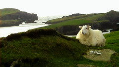 Posing sheep on Valentia Island (terryballard) Tags:
