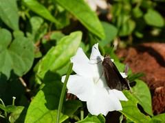 P1210834  Monk Skipper at Cuban Campanilla Flower (Morning Glory)--Ipomoeae batata (birder2015 Toronto, Canada) Tags: monkskipper asboliscapucinus hesperiidae butterfly mariposa lepidoptera insect wildflower holguincuba ipopoeaebatata cubancampanilla