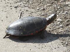 Painted Turtle 1 (D. S. Hałas) Tags: halas hałas canada ontario haltonregion wentworthcounty burlington aldershot royalbotanicalgardens chordata sarcopterygii reptilia testudines chelonia chelonii emydidae chrysemyspicta paintedturtle turtle