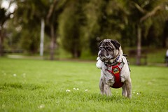 Frank (Stefania Avila) Tags: dog pug pet nature naturaleza landscape grass trees animal