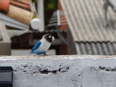 blue friend (Lemon Mousse!) Tags: bird passarinho bluebird nature animais natureza passarinhoazul arara ararinha
