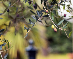 """"""" Playing with bokeh """" (pigianca) Tags: italy mygarden nature ulivo bokeh colors leicam10 leicateleelmaritm90mmf28"""