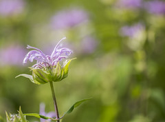 Wild Bergamot (Bernie Kasper (5 million views)) Tags: art berniekasper wildbergamot color colour d600 effect family flower floral flowers fun hiking indiana indianawildflowers home jeffersoncounty light landscape leaf leaves love bloom madisonindiana macro nature nikon naturephotography new outdoors outdoor old outside photography plant park plants photos photo people raw sigma summer travel trail unitedstates usa wildflower wildflowers