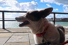Lina at Sally Port (Jainbow) Tags: portsmouth jainbow lina rescuedog romanianrescuedog adoptdontshop adopteddog dog streetdog