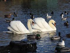 Coming through! (Simply Sharon !) Tags: muteswans swans birds wildlife britishwildlife nature adeldamnaturereserve february