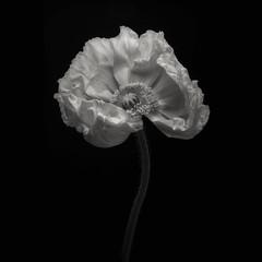 A single poppy (Funchye) Tags: poppy blomst monochrome bnw nikon d750 105mm