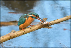Kingfisher (image 1 of 3) (Full Moon Images) Tags: suffolk wildlife trust nature reserve lackford lakes bird fish kingfisher