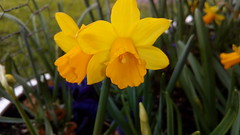 Mini-Daffs flowering in trough on balcony (Very close up) 6th March 2019 (D@viD_2.011) Tags: minidaffs flowering trough balcony very close up 6th march 2019
