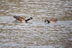 FM5A0246 (Kemp Davis) Tags: wildlife nature aquaticbird canadagoose