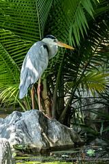 20190309-satay-by-the-bay-5745.jpg (takashiyoshida) Tags: sataybythebay singapore gardensbythebaysouth greyheron nature centralregion sg