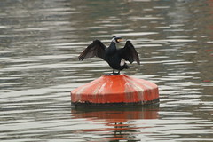 Airing the Wings (charliejb) Tags: bird cormorant 2019 wings feathered feathers feather beak bristol balticwharf water riveravon avon river