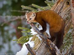 American Marten (Doug Scobel) Tags: american marten martes americana saxzimbog sax zim bog forest boreal northern wild mammal winter