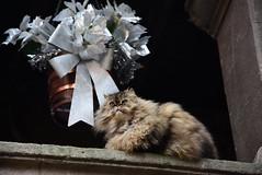 A cat named Armani... (pescarolo041) Tags: cat gat gato nikon nikond7200 18105 rupit armani pet