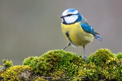 Nunca falla (Fotografias Unai Larraya) Tags: animales herrerillocomún aves salvaje fauna orgi bosque naturaleza musgo ngc