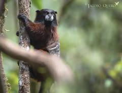 Mico bebeleche/ Brown-mantled tamarin (Saguinus fuscicollis) (Jacobo Quero) Tags: mico tití mono primate tamarino bebeleche wildlife nature fotografíadenaturaleza wildlifephotography jungle selva amazonía amazon nikon